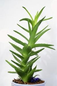 Aloe Vera Gel Bio biologisch